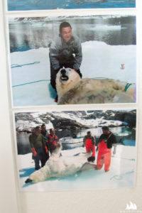 Ba Grenlandii cały czas poluje się na białe niedźwiedzie