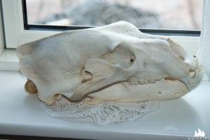 Spreparowana czaszka misia na oknie