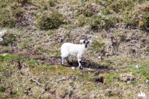 Irlandzka owieczka