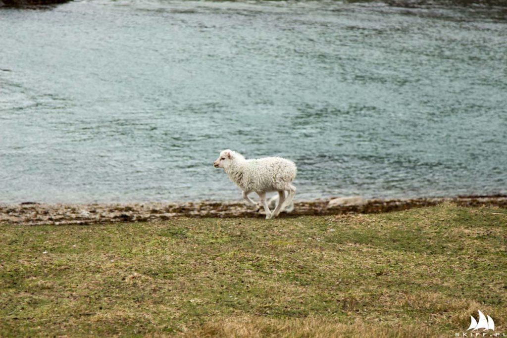 W tym regionie grasuje spor owieczek