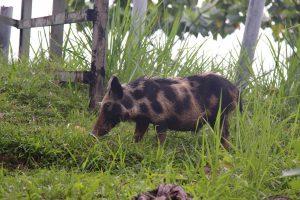 Dzikie świnie przywieźli tu piracie i od tamtej pory radośnie biegają po wyspie
