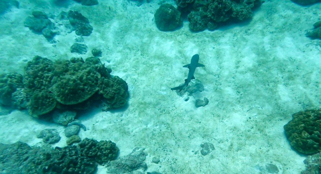 Rekin w wodzie przy Isla del Coco