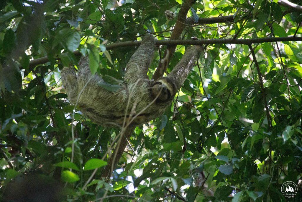 kostaryka-leniwiec
