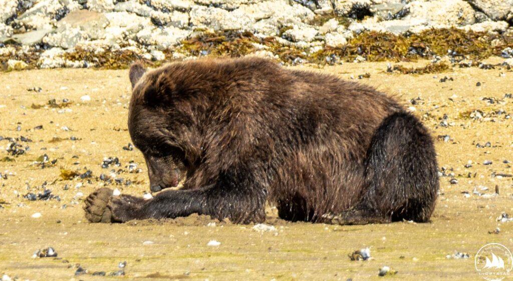 Niedźwiedź brunatny