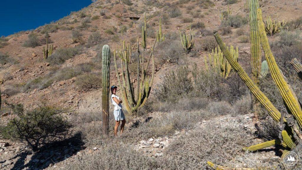 Kaktusy na Morzu Corteza bywają ogromne!