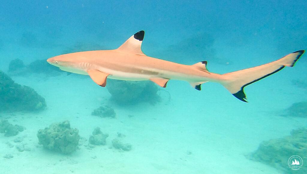 Rekin rafowy na atolu Tahanea