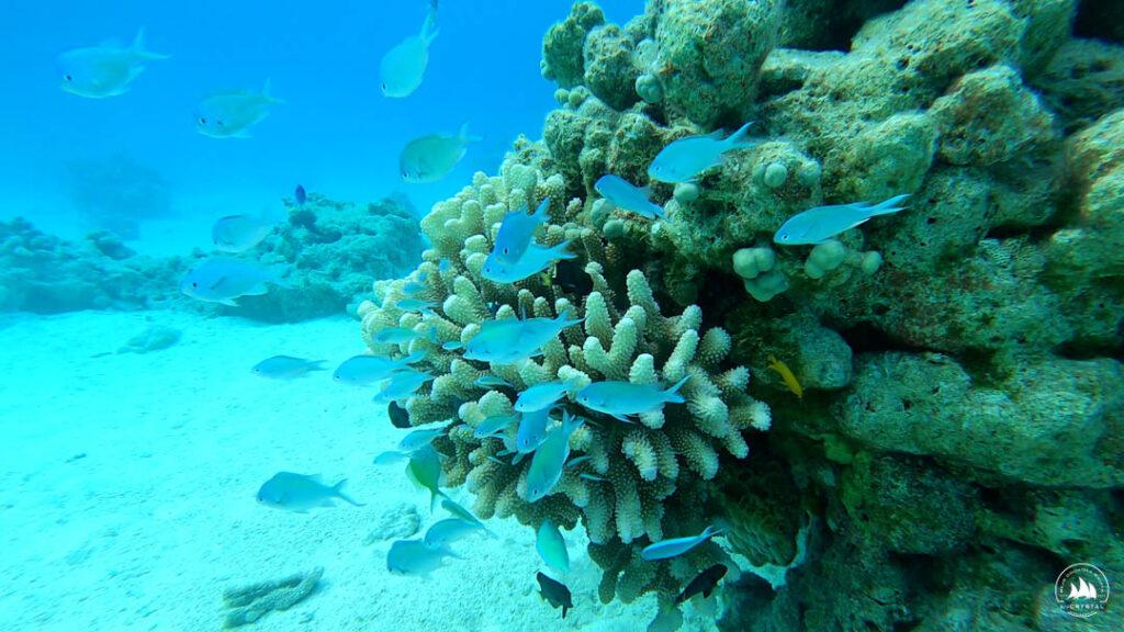 Małe rybki przy koralu na atolu Tahanea - Tuamotu