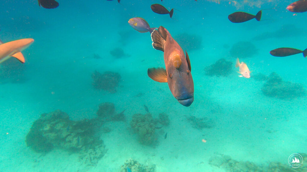 Napoleaon na atolu Tahanea - Polinezja Francuska