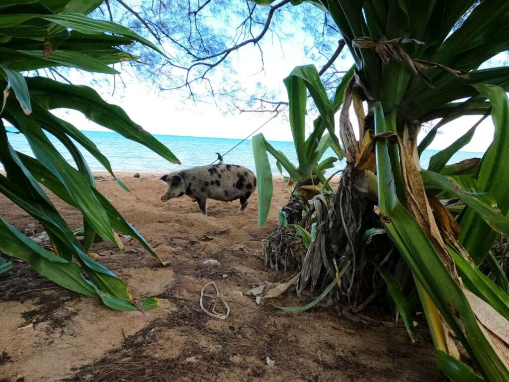 świnia plaża Tubuai